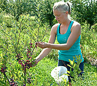 Rebecca Harbut, graduate student graduate student in Cornell University's Department of Horticulture,  harvests beach plums at Cornell Orchards.