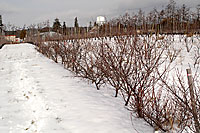 beach plum orchard in winter
